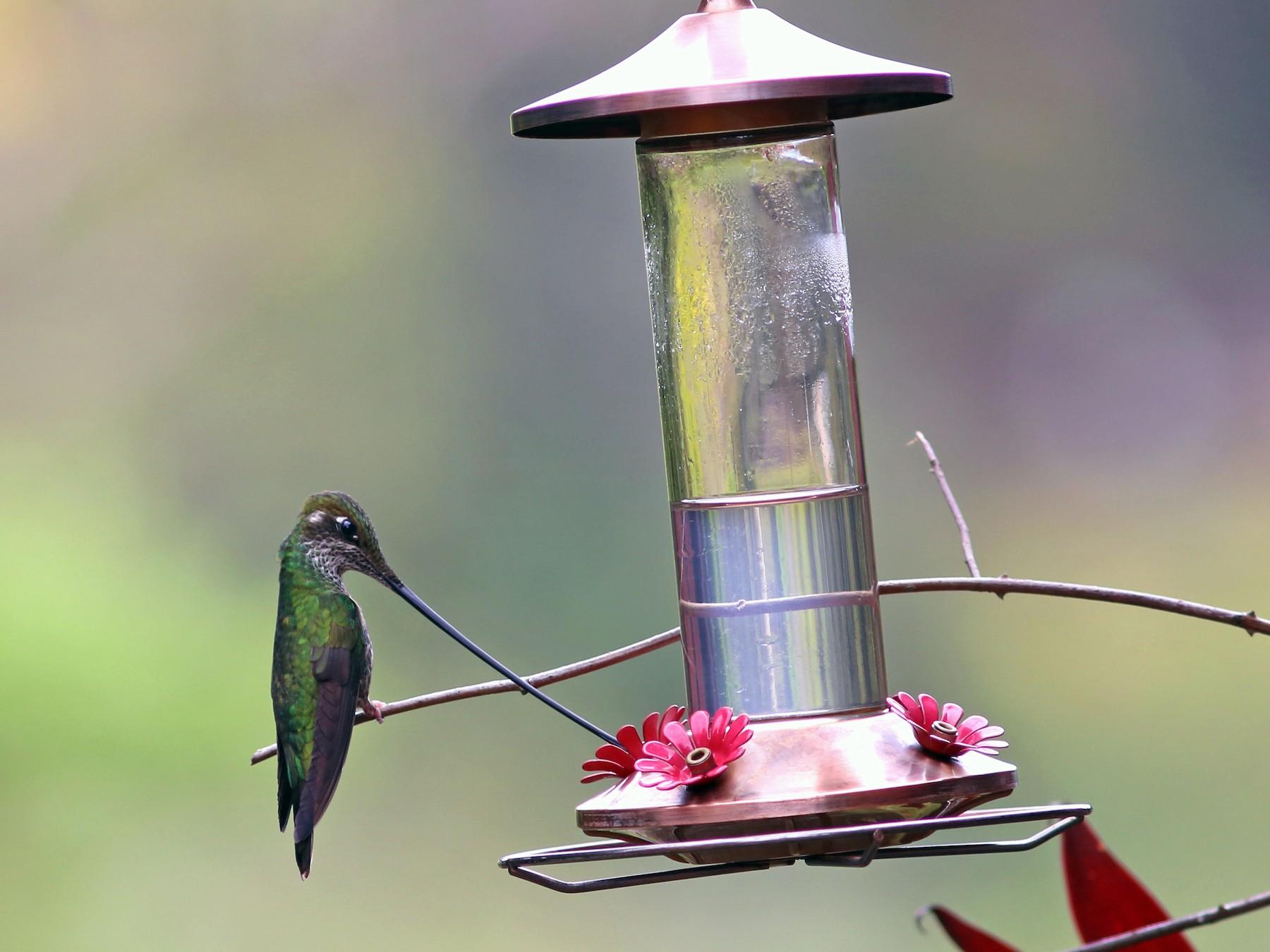 Sword-billed Hummingbird - Rohan van Twest