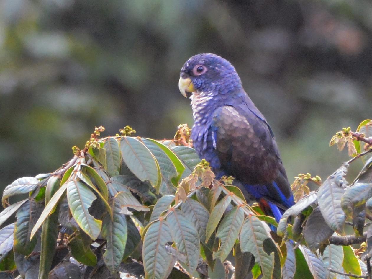 Bronze-winged Parrot - Richard Garrigus