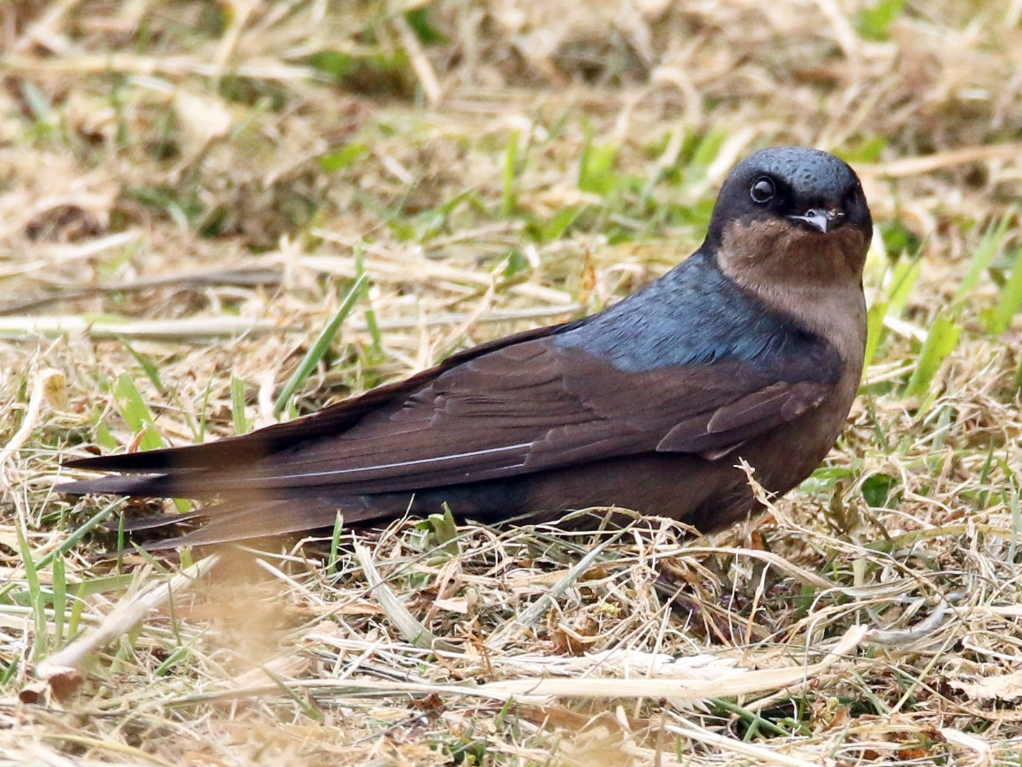 Brown-bellied Swallow - Loch Kilpatrick