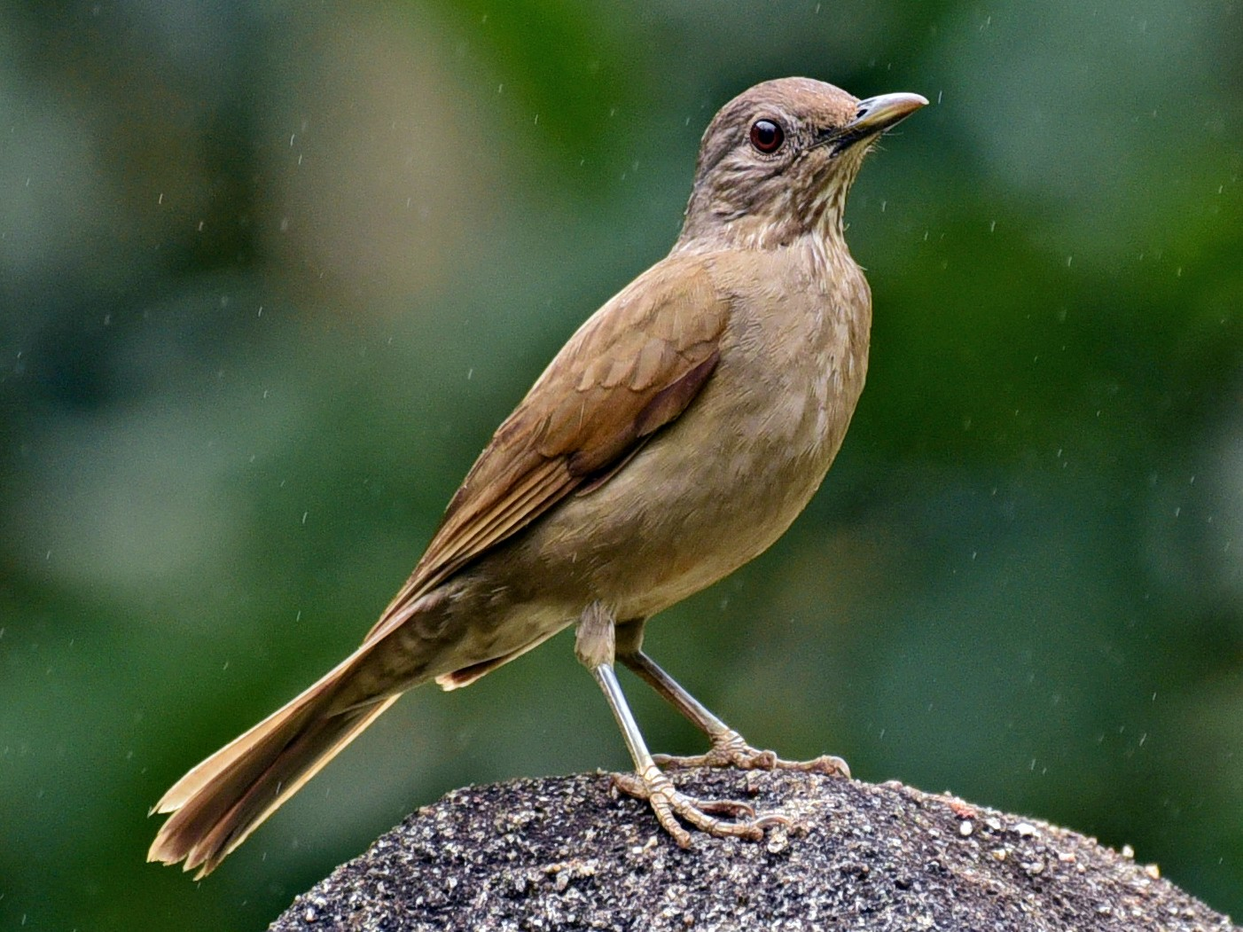 Pale-breasted Thrush - Luiz Moschini