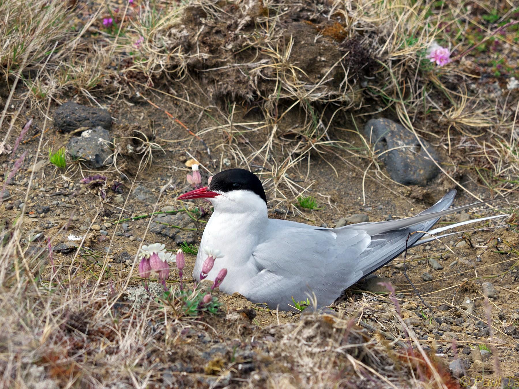 Arctic Tern - Paul Tavares