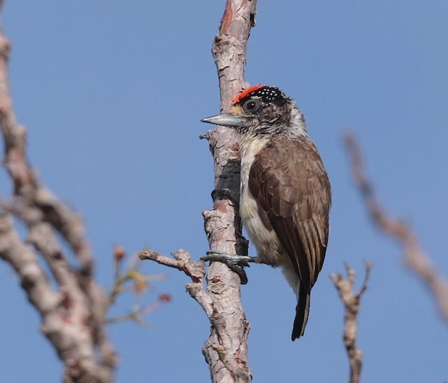 White-bellied Piculet (White-bellied)