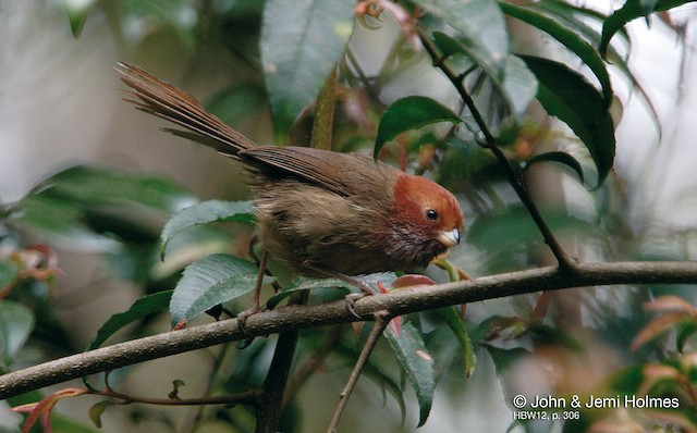 Brown-winged Parrotbill (Brown-winged)