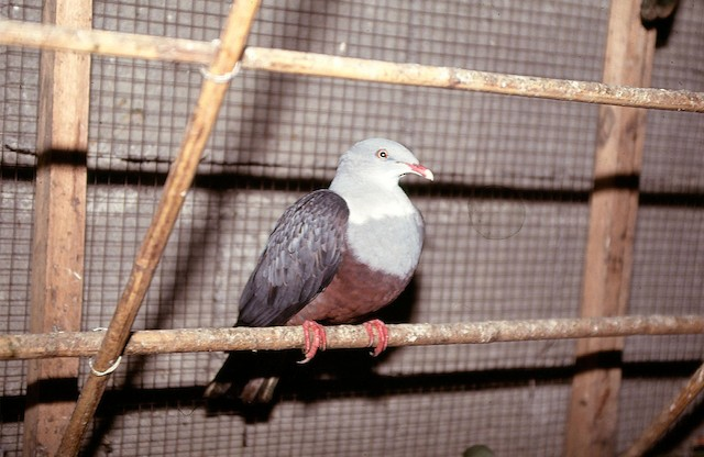 Spotted Imperial-Pigeon