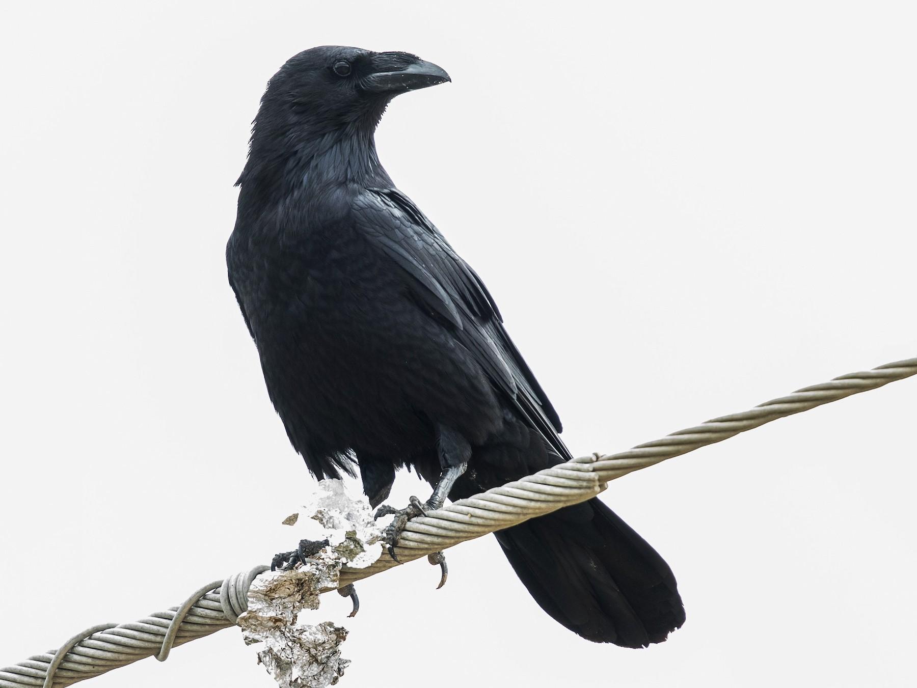 Chihuahuan Raven - Caroline Lambert