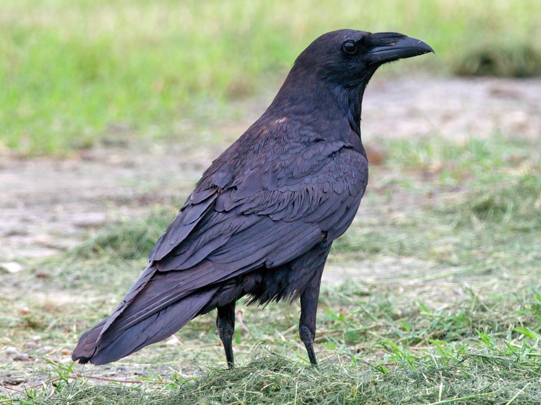 Chihuahuan Raven - Amanda Guercio