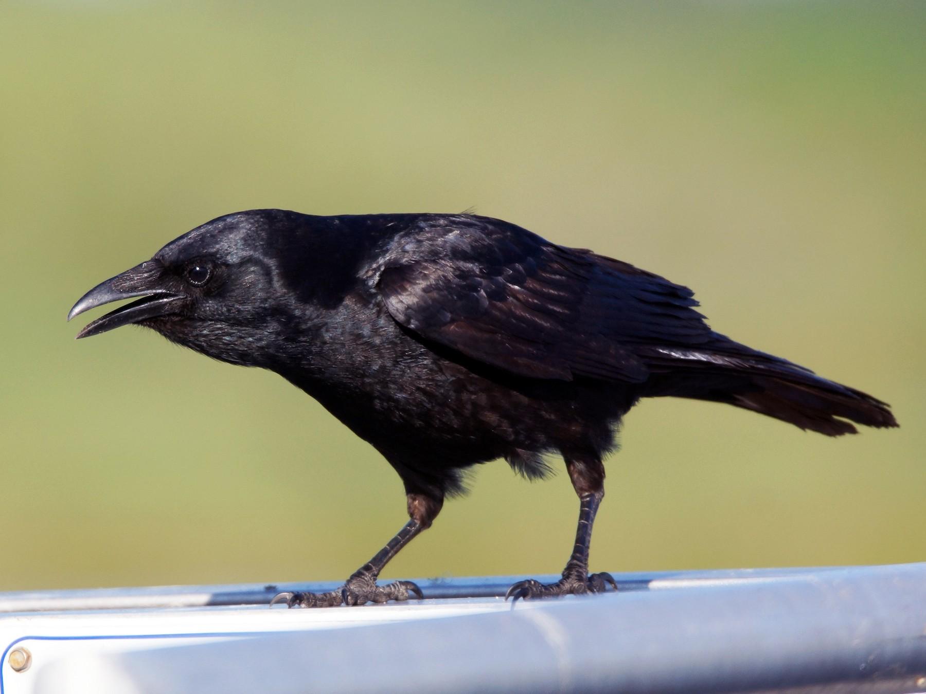 Fish Crow - Steve Percival