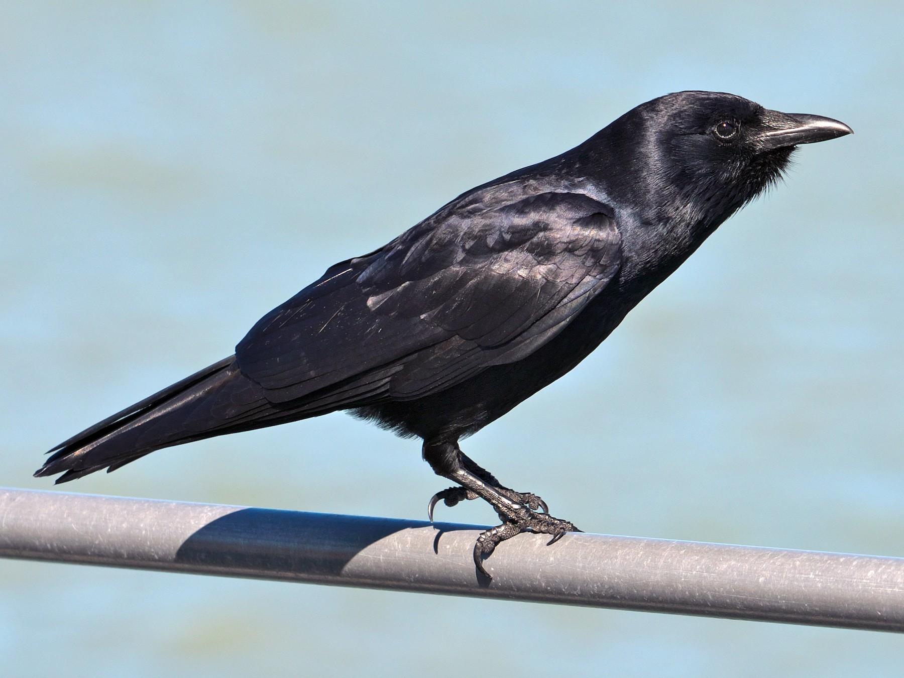 Fish Crow - Paul Tavares