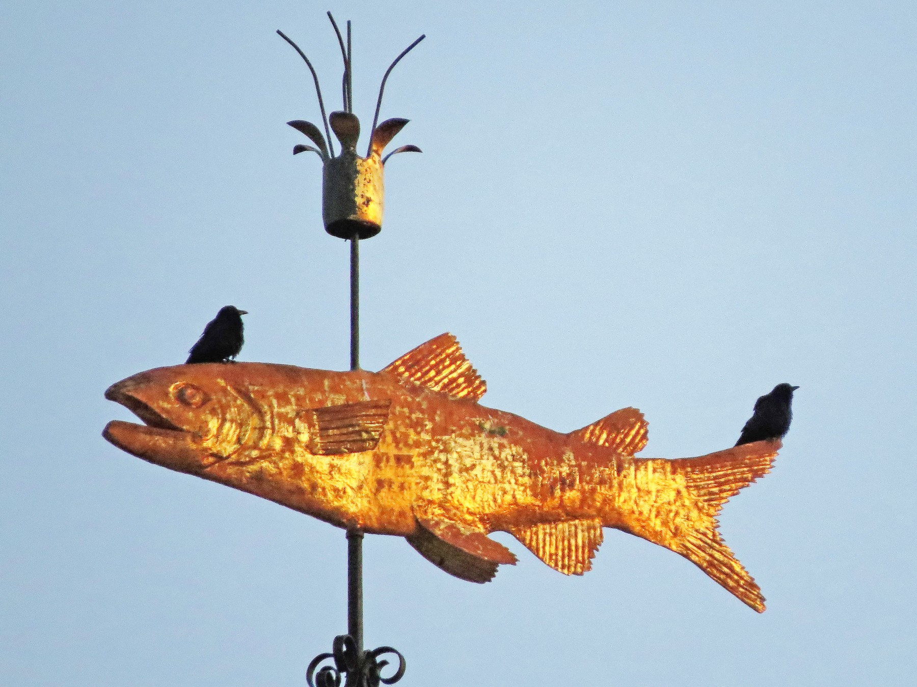 Fish Crow - Tristan Lowery