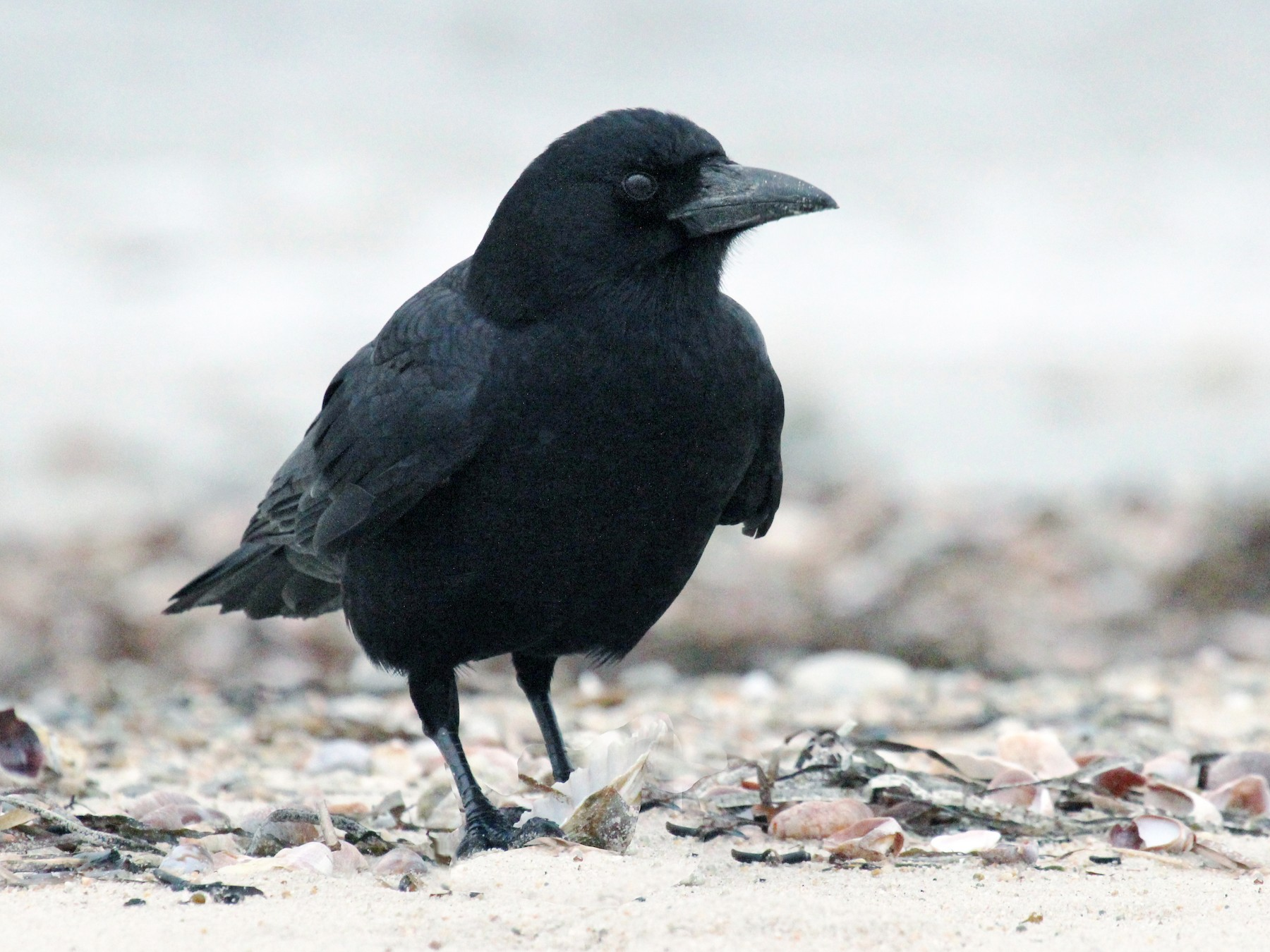 Fish Crow - Mike Schanbacher