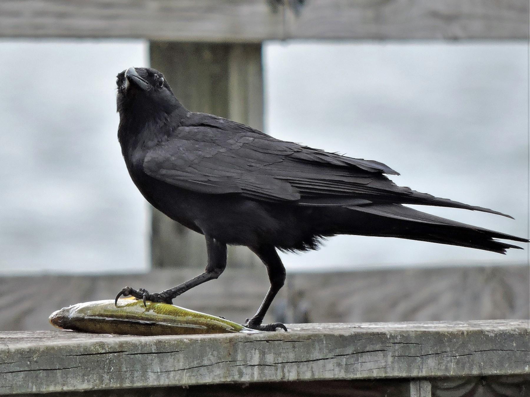 Fish Crow - S. K.  Jones