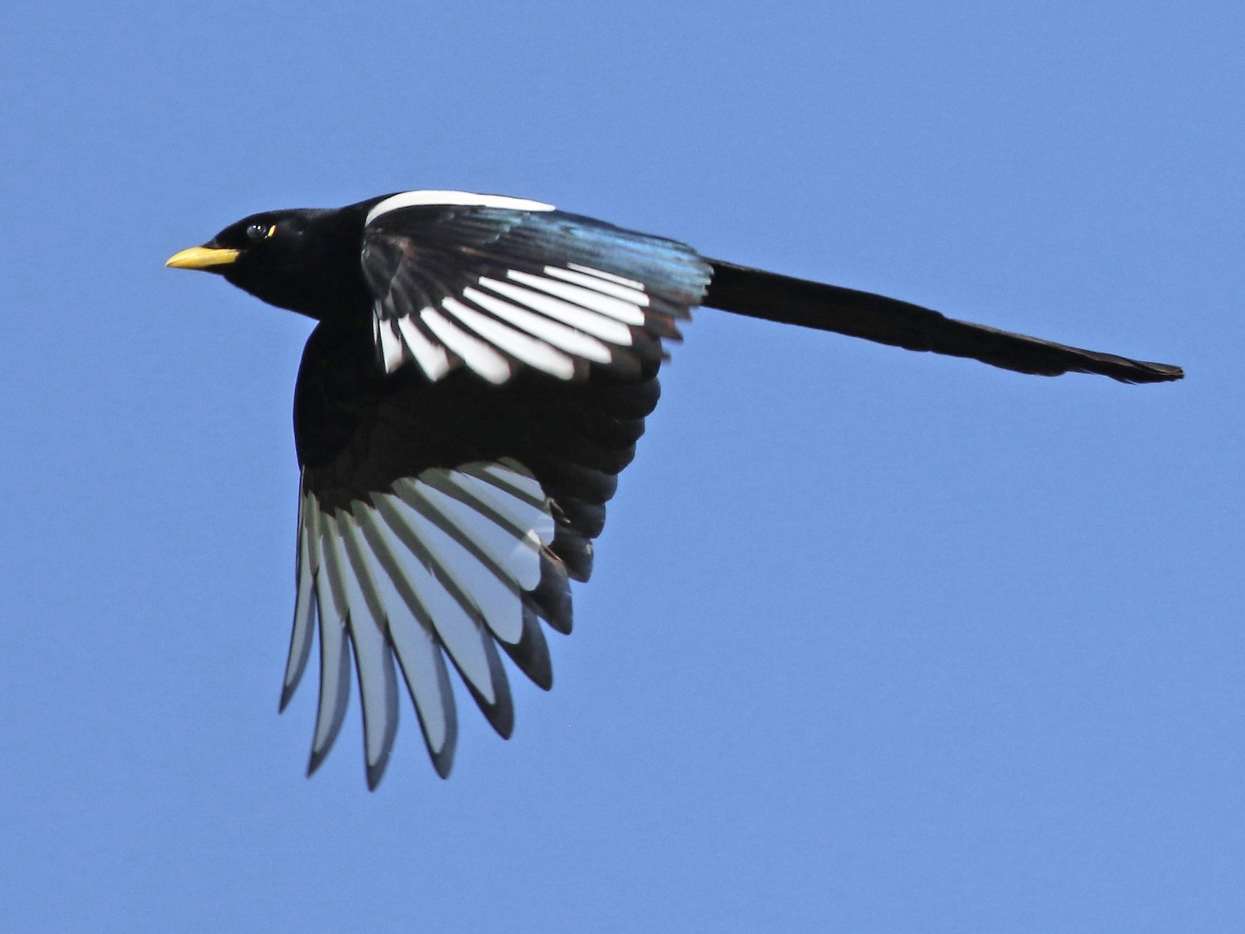Yellow-billed Magpie - Ann Vaughan