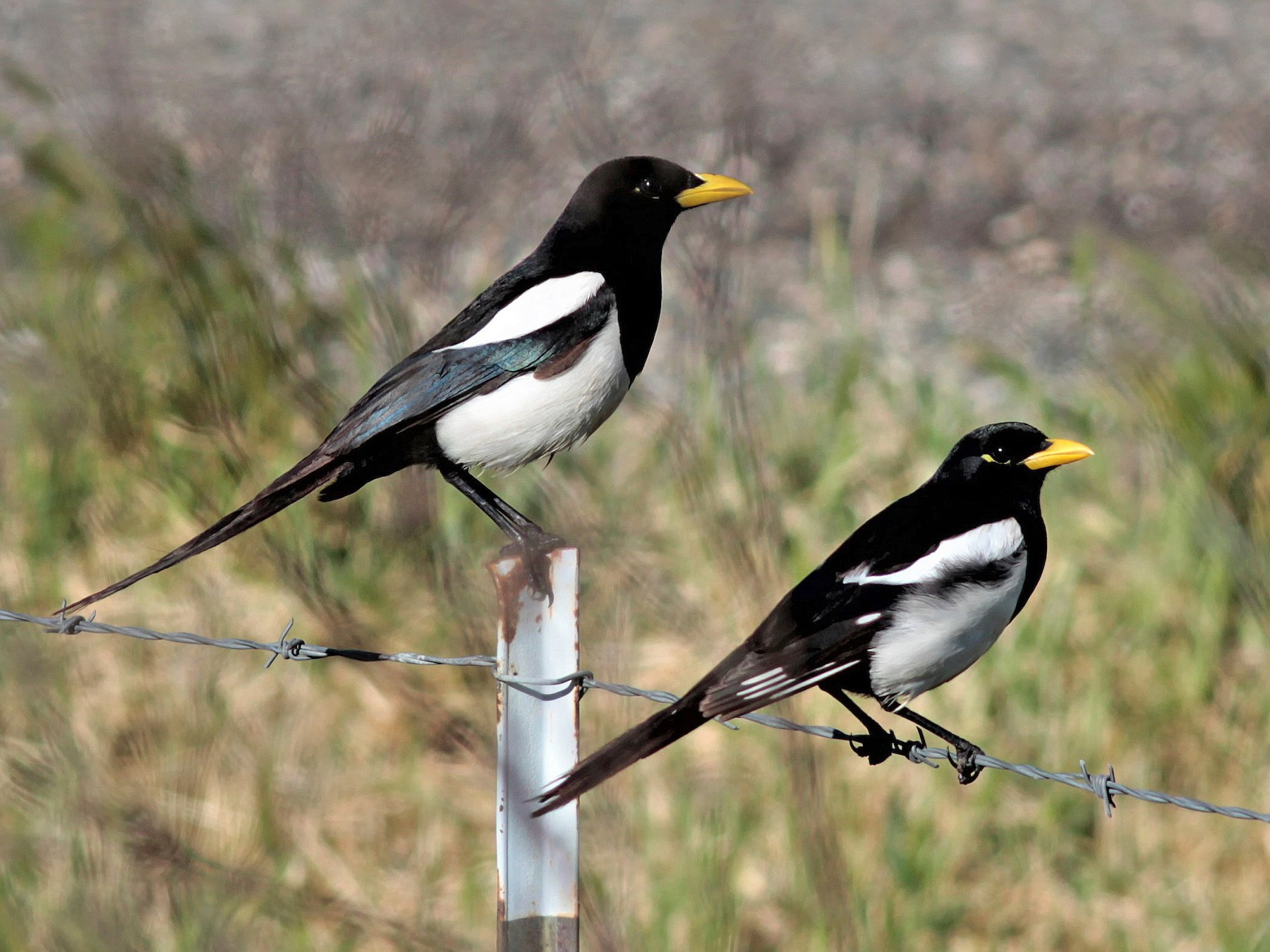 Yellow-billed Magpie - Will Wright