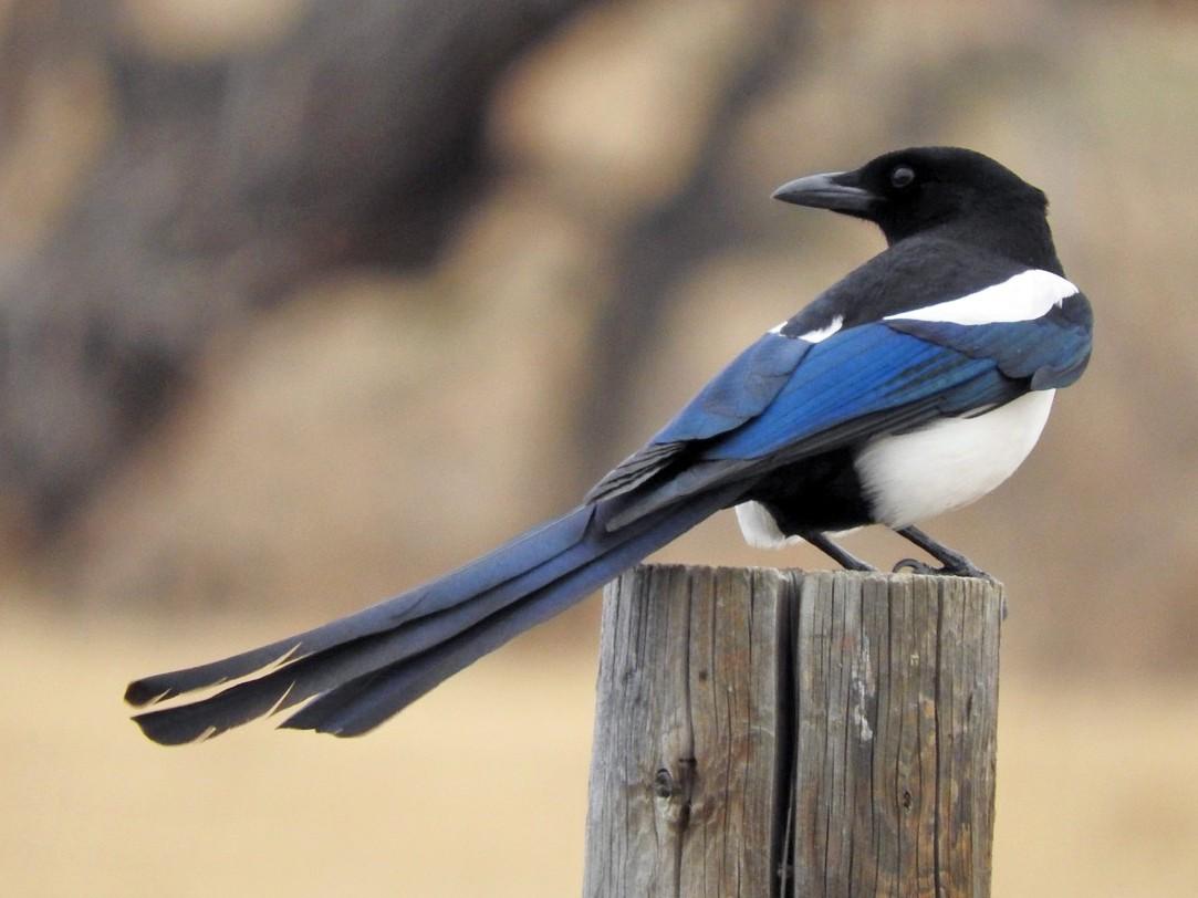 Black-billed Magpie - Aidan Coohill