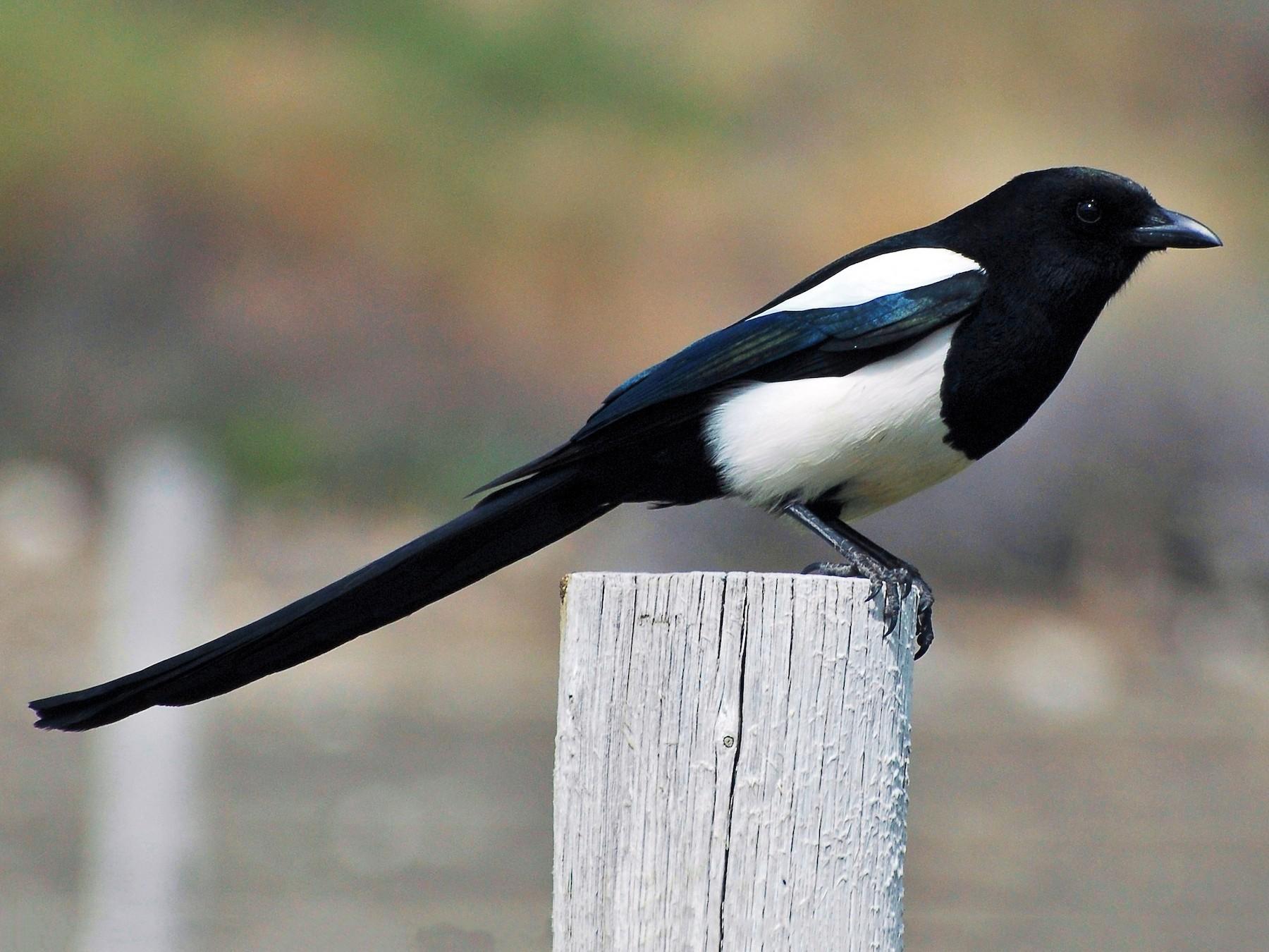 Black-billed Magpie - David Hollie