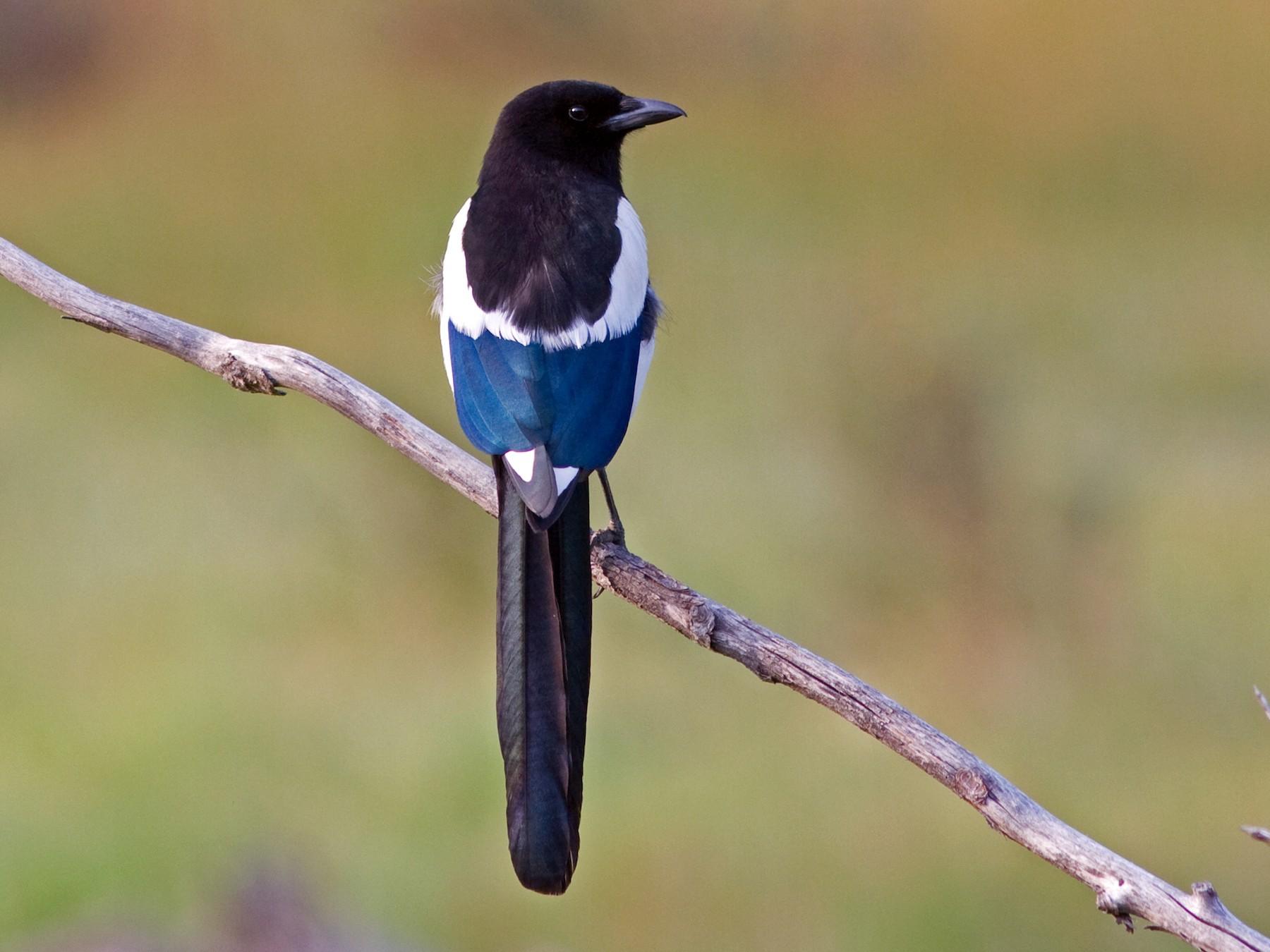 Black-billed Magpie - David Disher
