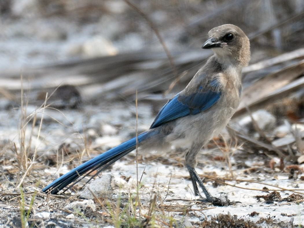 Florida Scrub-Jay - Adam Wood
