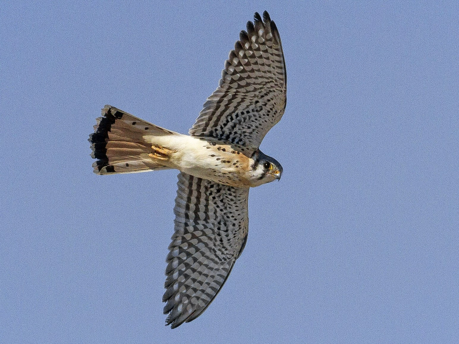 American Kestrel - Jacob Drucker