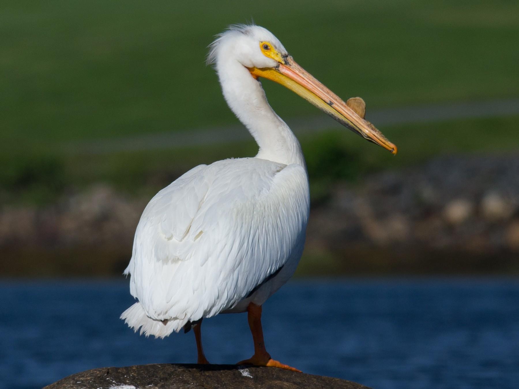 American White Pelican - Alix d'Entremont