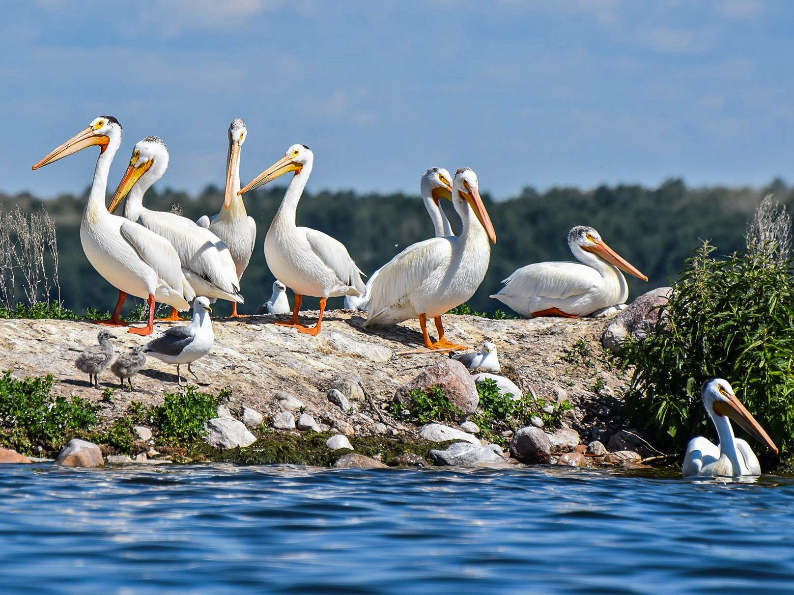 American White Pelican - Arielle DeMerchant