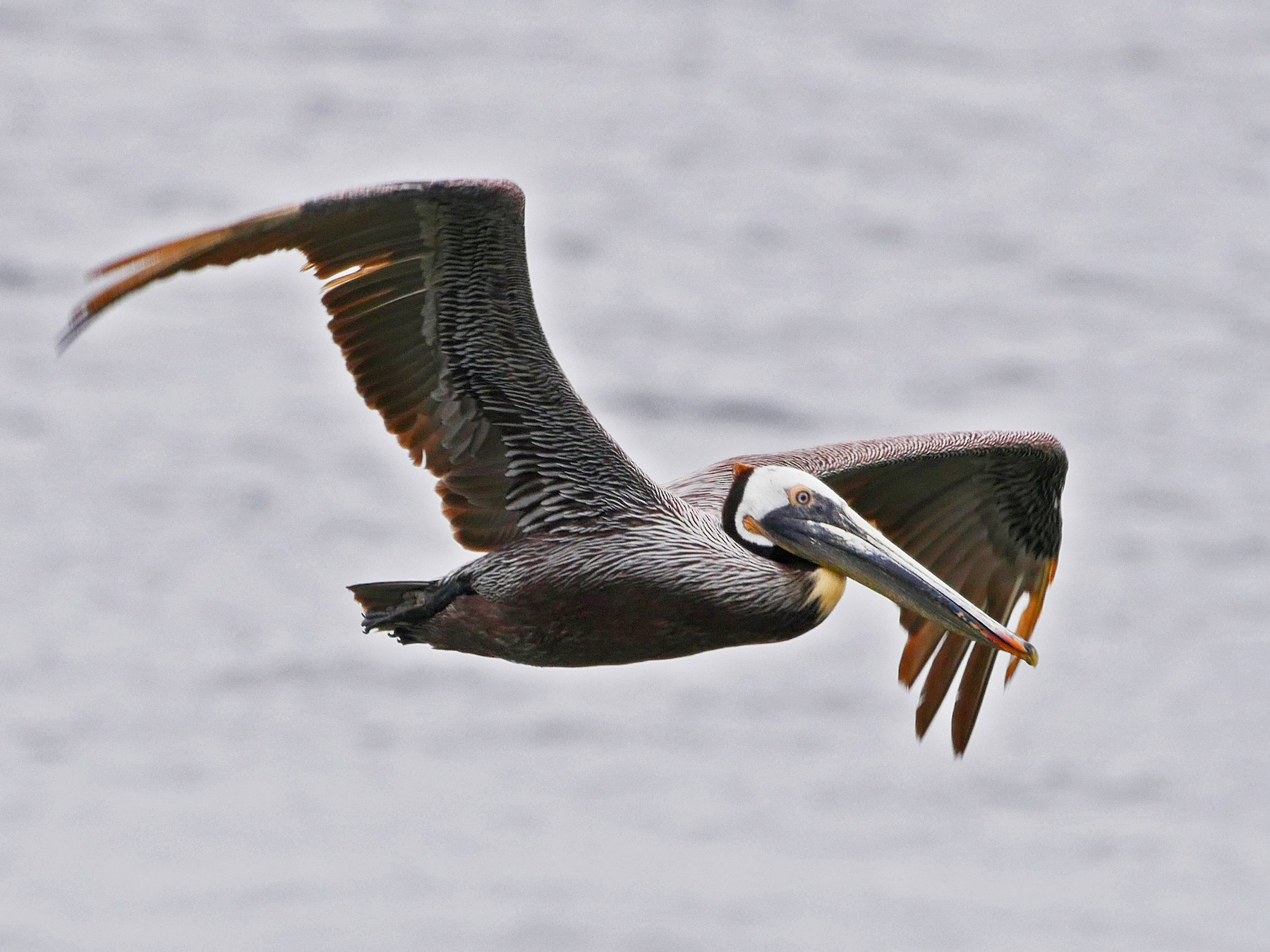 Brown Pelican - Grace Oliver