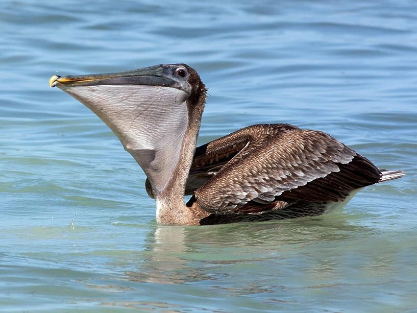 Brown Pelican - Diego Oscar / Sandpiper Birding & Tours