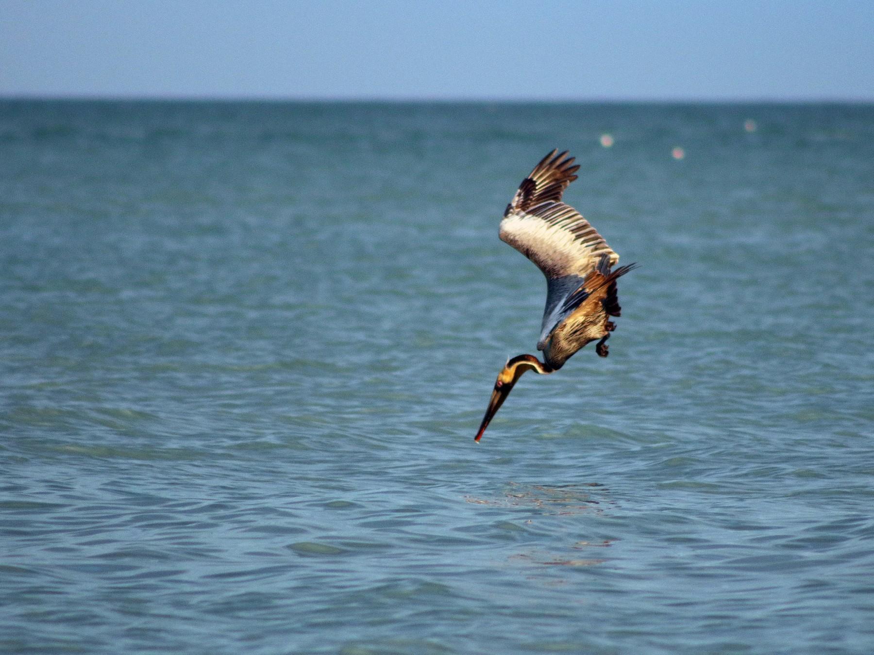 Brown Pelican - Ben Leff