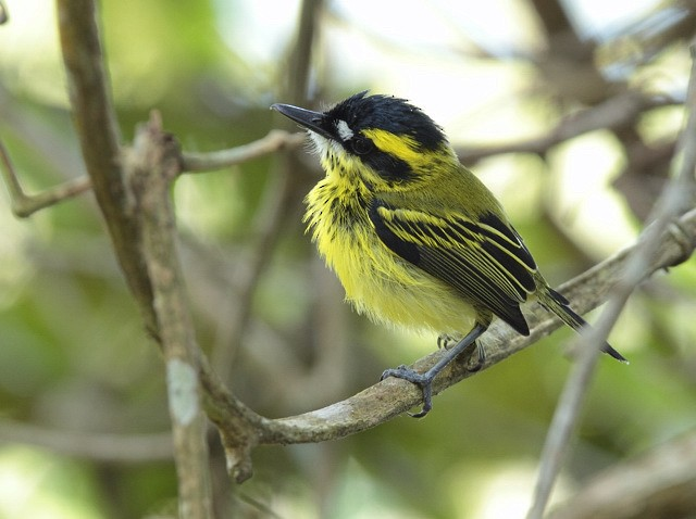 Yellow-browed Tody-Flycatcher