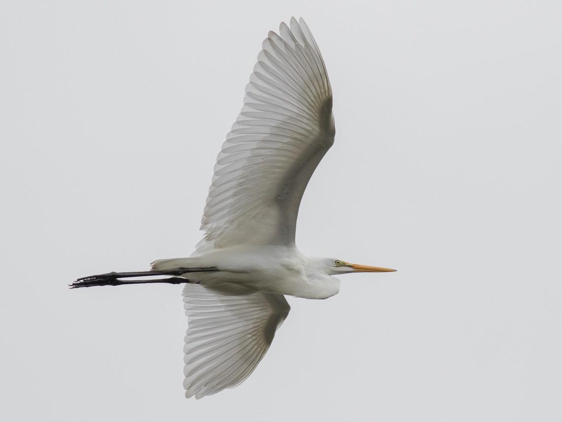 Great Egret - Tom Johnson