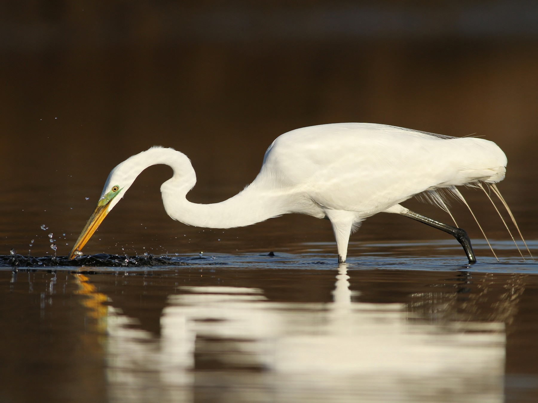 Great Egret - Evan Lipton