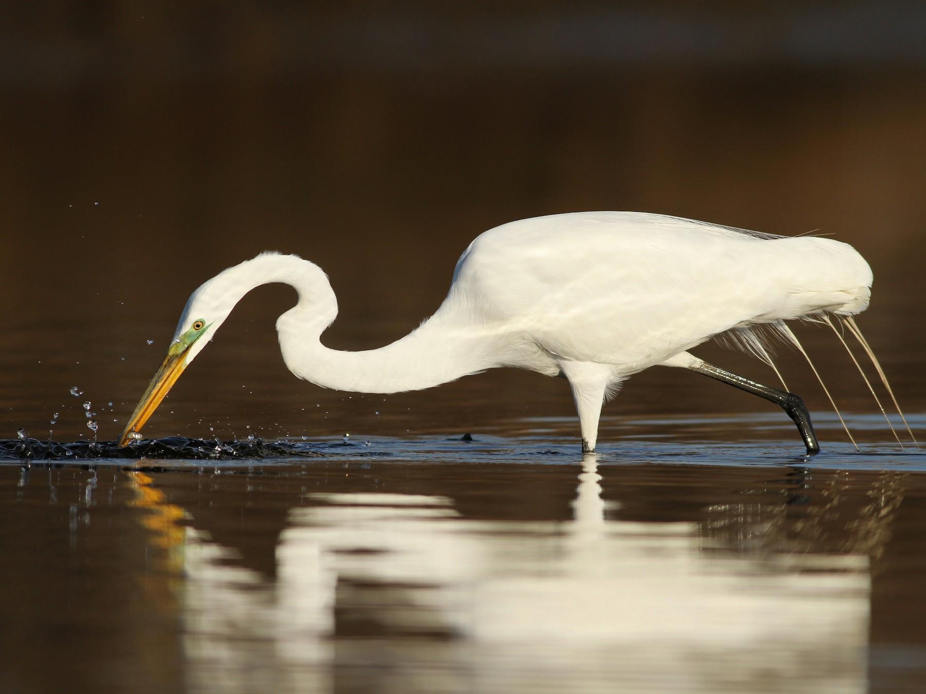 Great Egret - Evan Lipton