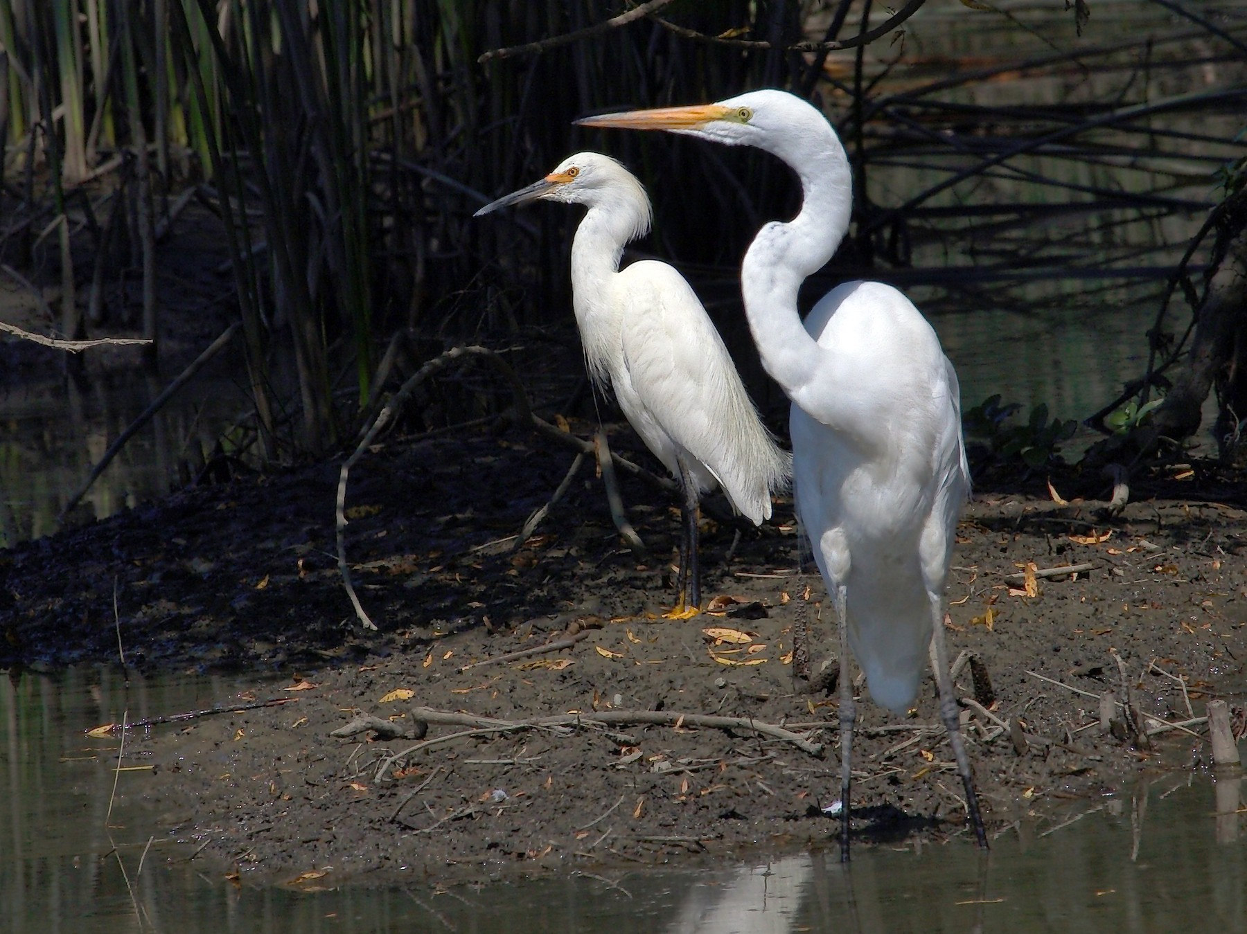 Snowy Egret - DigiBirdTrek CA