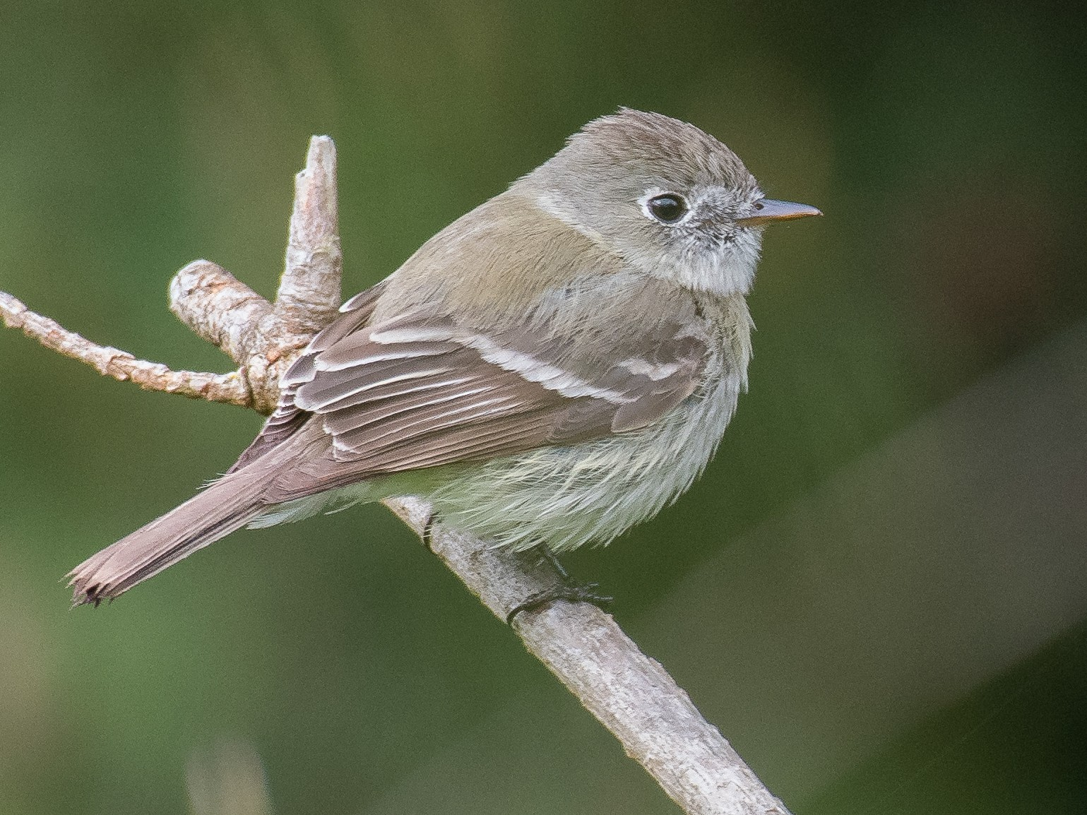 Hammond's Flycatcher - Lee Barnes