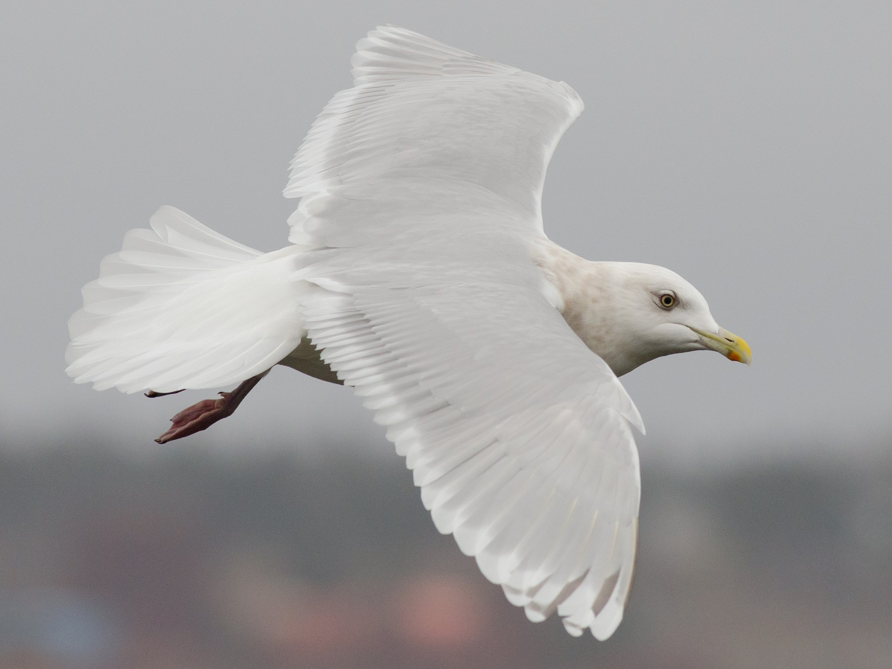 Iceland Gull - Alix d'Entremont