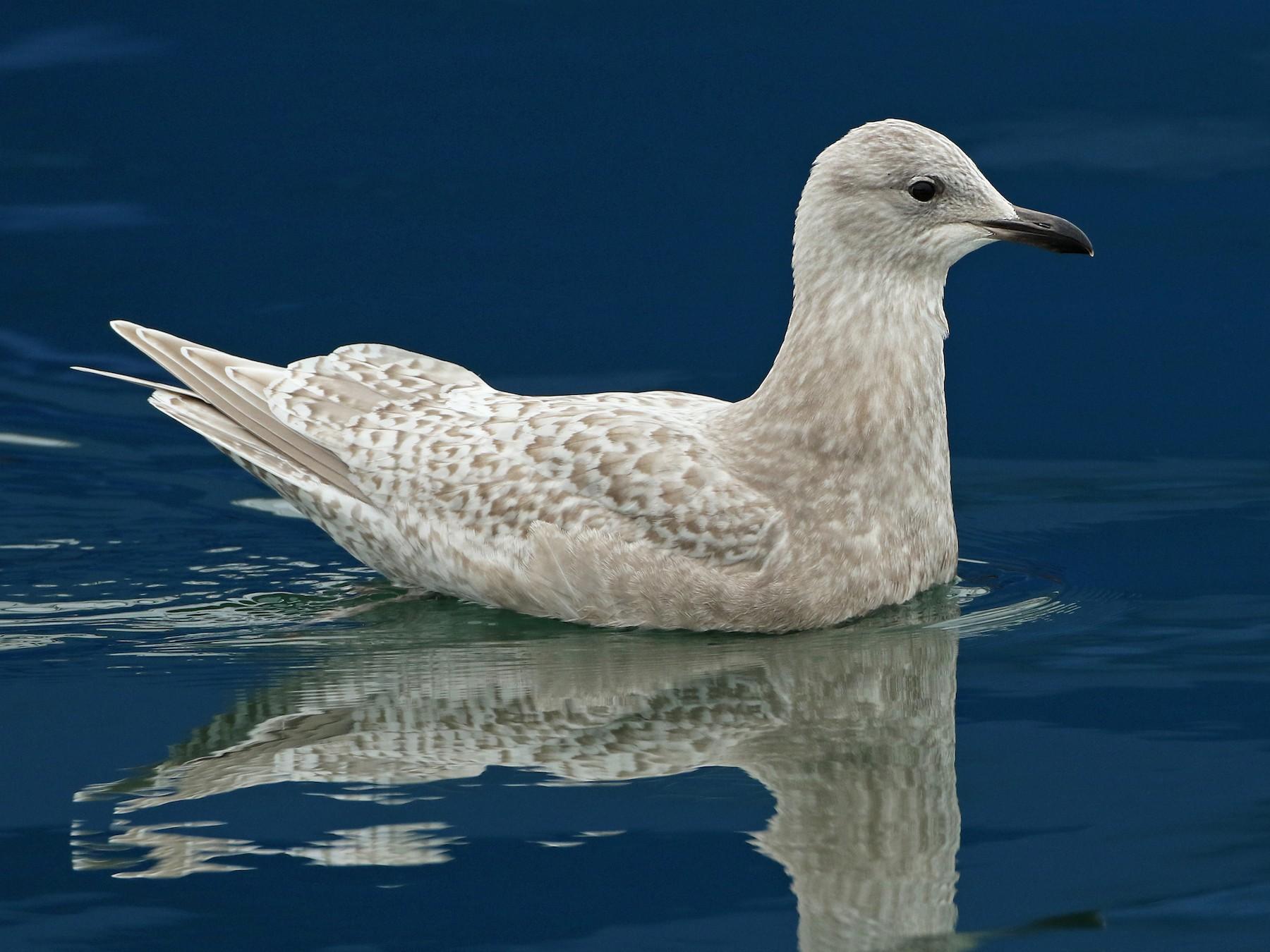 Iceland Gull - Luke Seitz
