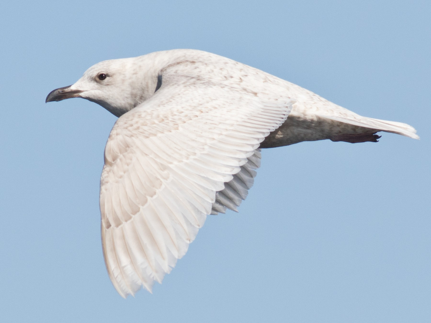 Iceland Gull - David Brown