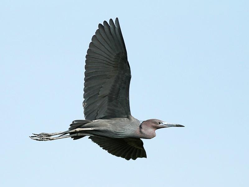 Little Blue Heron - Jeremiah Trimble
