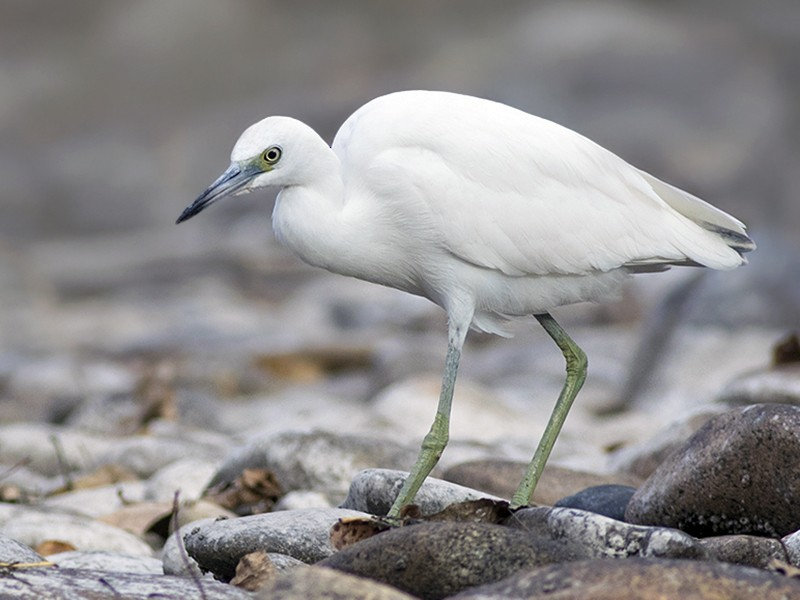 Little Blue Heron - Zak Pohlen