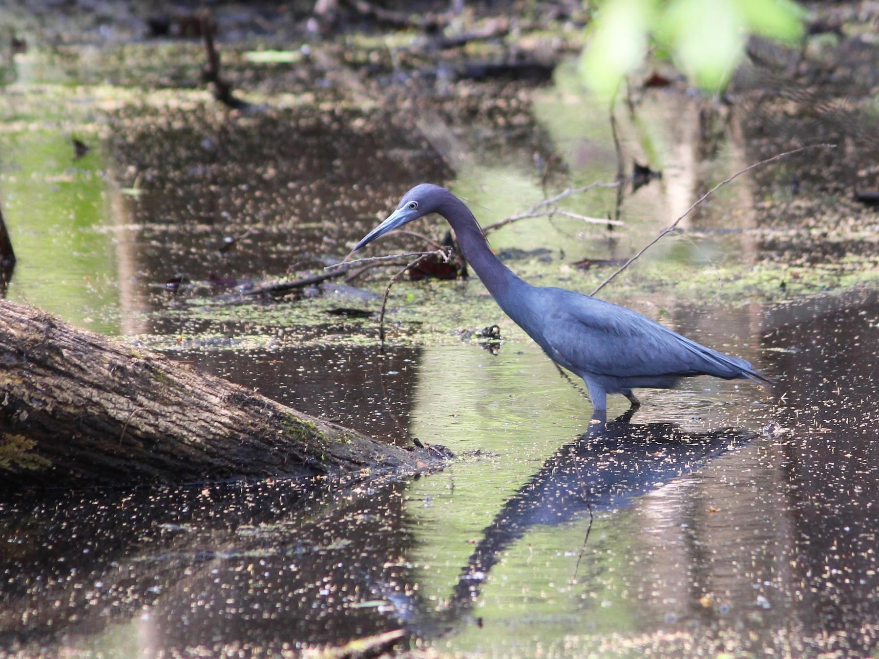 Little Blue Heron - Oscar  Johnson