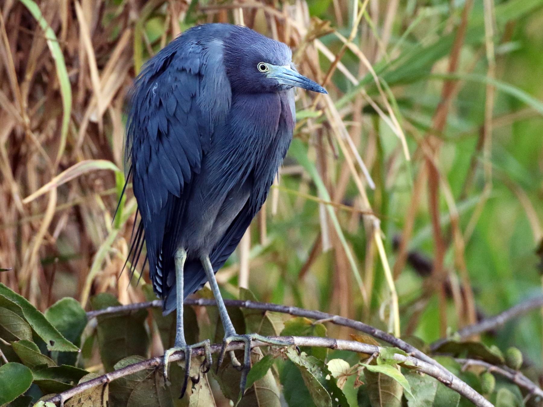 Little Blue Heron - Luke Seitz