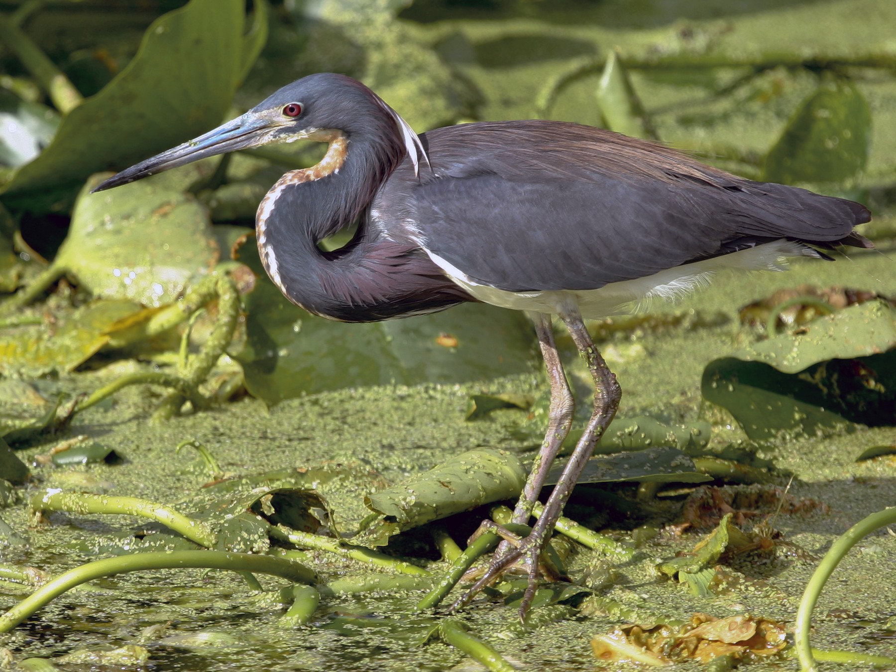 Tricolored Heron - Chris Wood