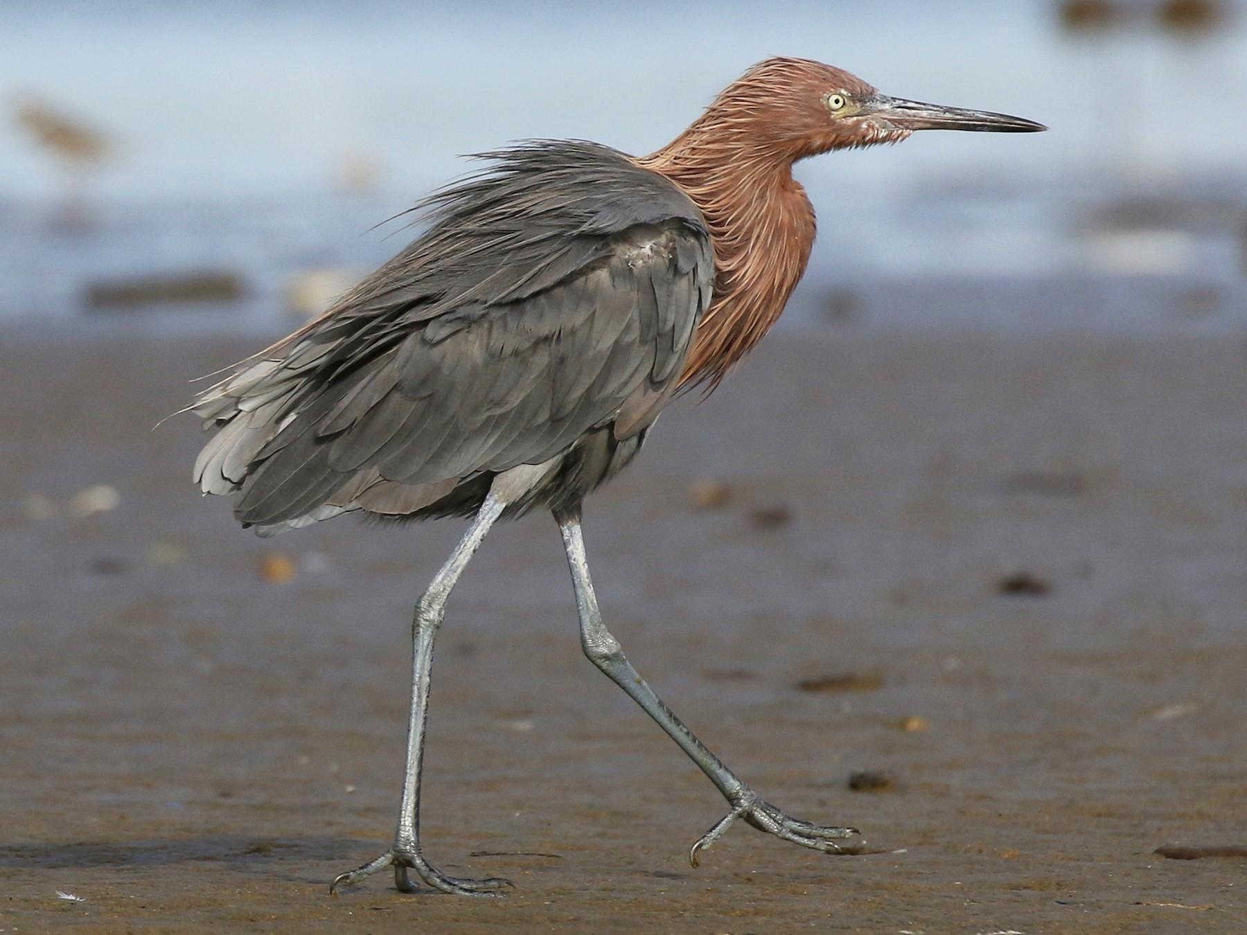 Reddish Egret - James Rieman
