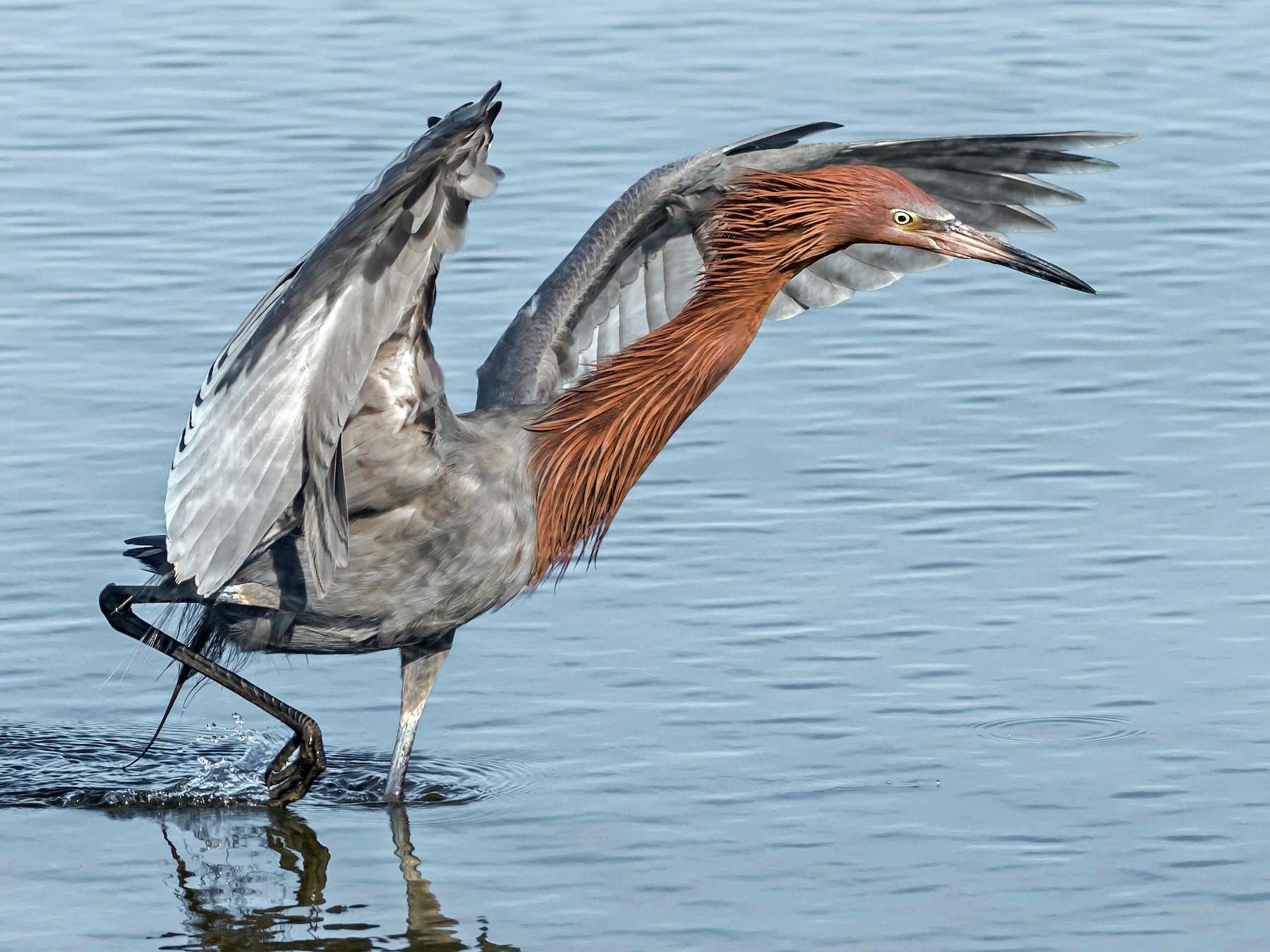 Reddish Egret - Chezy Yusuf