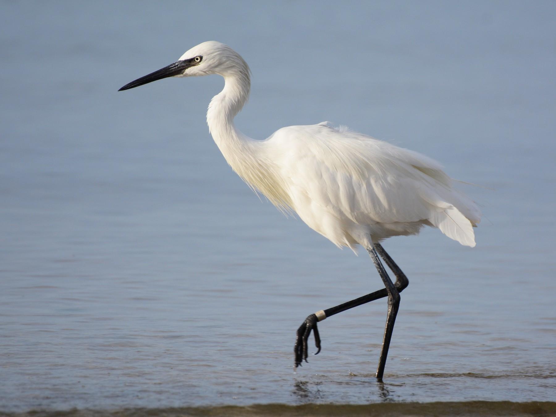 Reddish Egret - Patrick Maurice