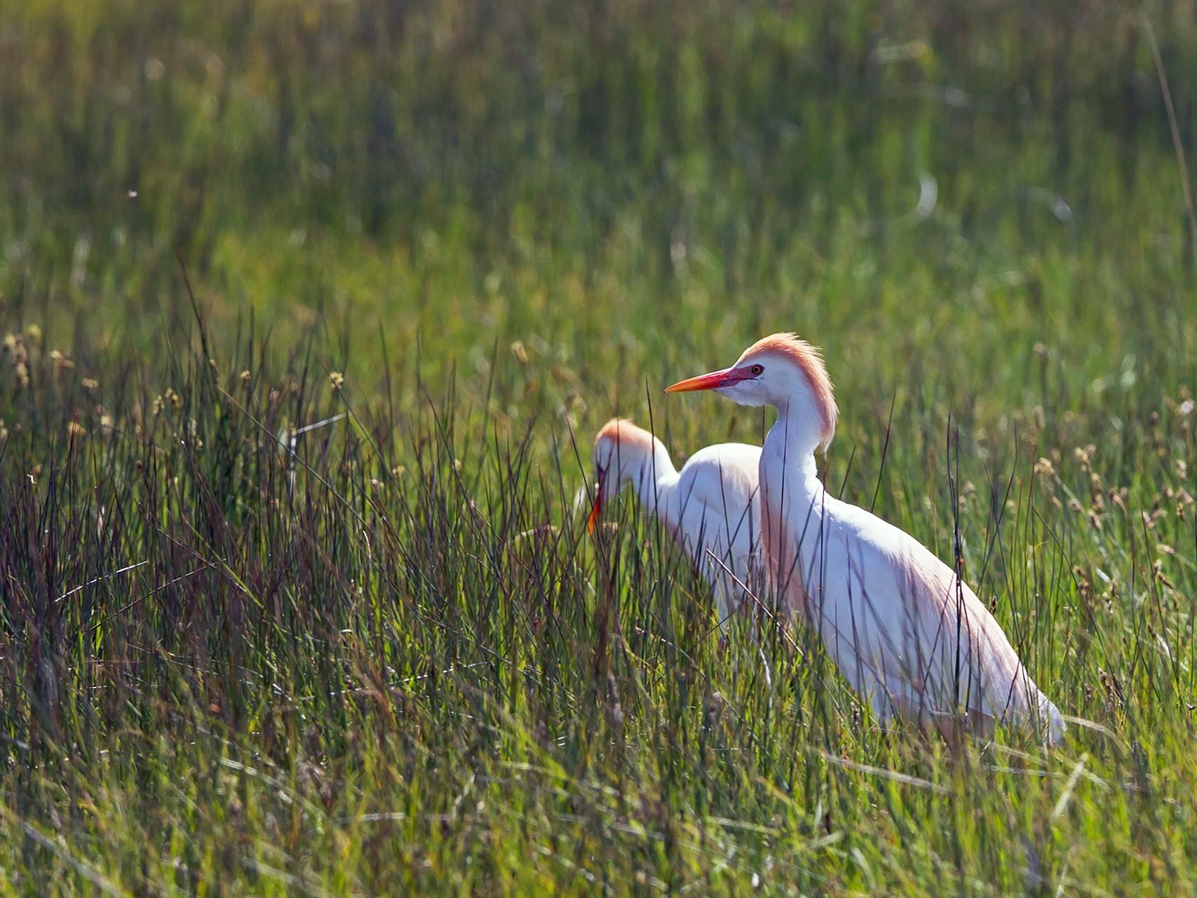 Cattle Egret - Joshua Covill