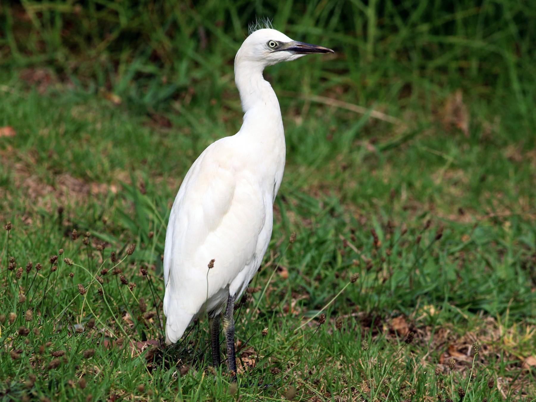 Cattle Egret - Paul Fenwick