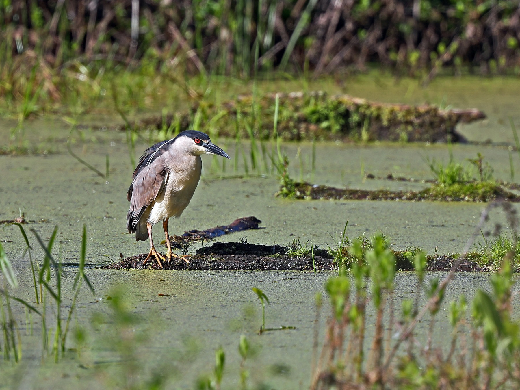 Black-crowned Night-Heron - Daniel Jauvin