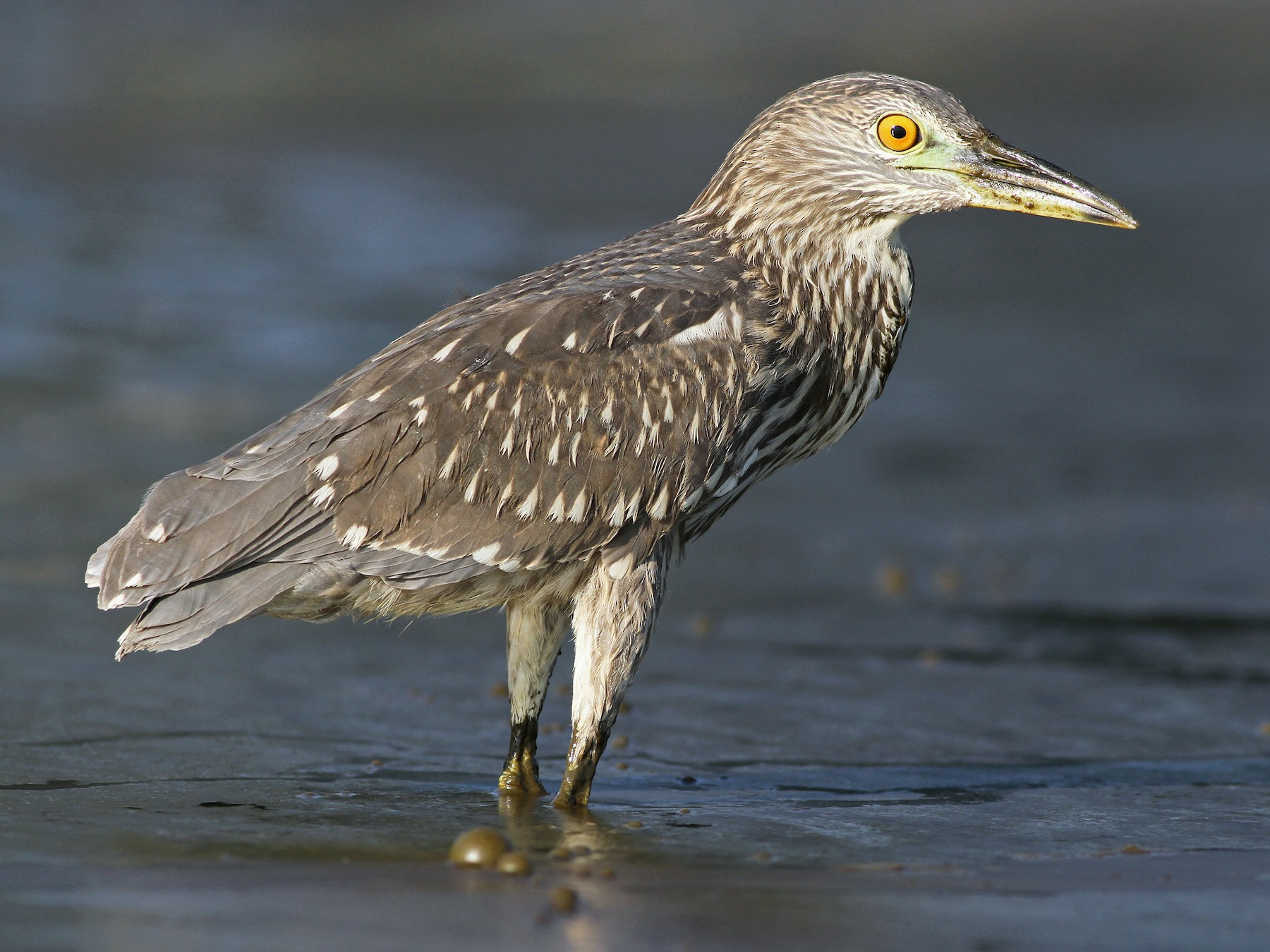Black-crowned Night-Heron - Evan Lipton