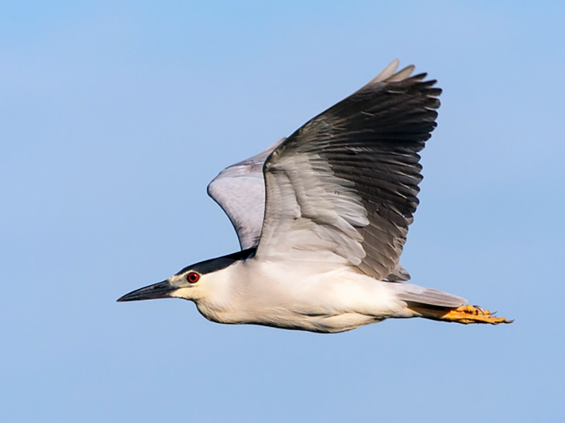 Black-crowned Night-Heron - Charlene Fortner