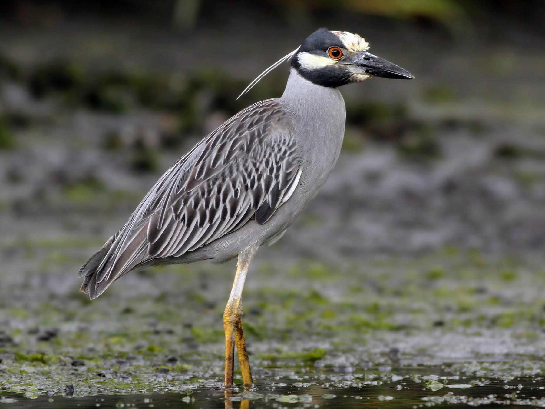Yellow-crowned Night-Heron - Evan Lipton